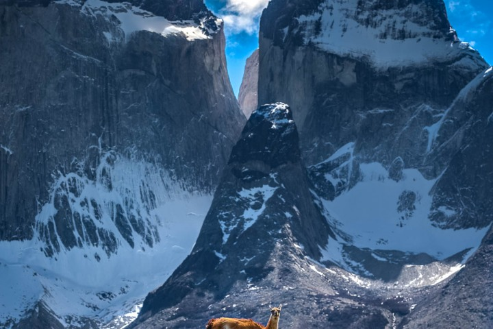 AGP Favorite, Chile, Guanacos, Mountains, Patagonia, Snow Covered, South America, Torres del Paine, Travel