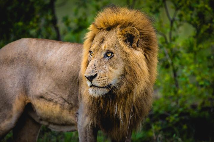 Africa, AGP Favorite, Kruger National Park, Lion, Safari, South Africa, Travel