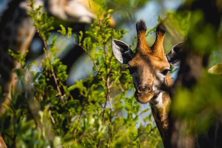 Africa, Giraffe, Kruger National Park, Safari, South Africa, Travel