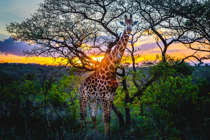 Africa, Giraffe, Kruger National Park, Safari, South Africa, Sunset, Travel