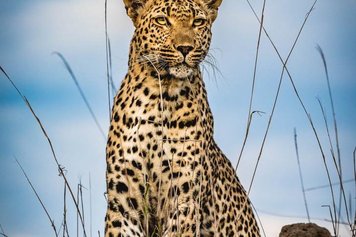 Africa, AGP Favorite, Kruger National Park, Leopard, Safari, South Africa, Travel
