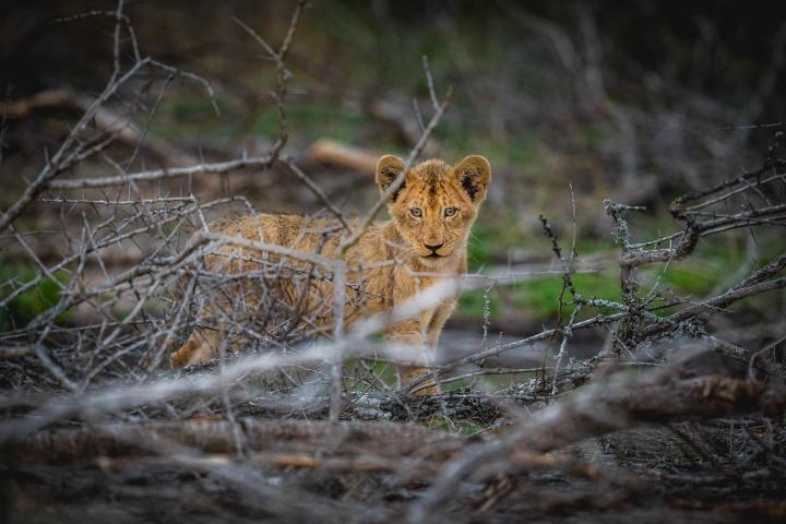 Africa, Kruger National Park, Lion, Safari, South Africa, Travel