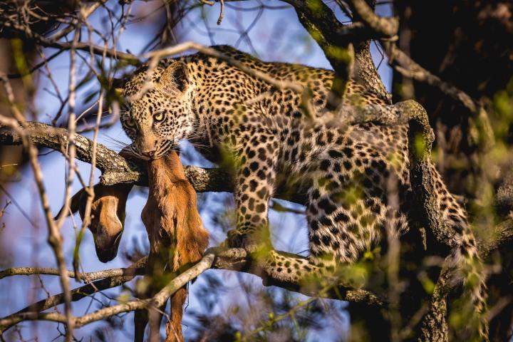 Africa, Kruger National Park, Leopard, Safari, South Africa, Travel