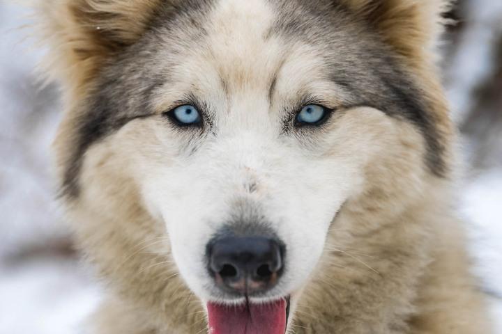 Dog Sledding, North America, Park City, Snow Covered, Travel, United States, Utah