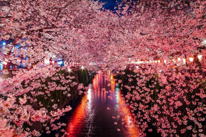 AGP, AGP Favorite, Alex G Perez, Asia, Cherry Blossoms, Japan, Landscape Photography, Meguro River Park, Sakura, Spring, Tokyo, Travel, www.AGPfoto.com