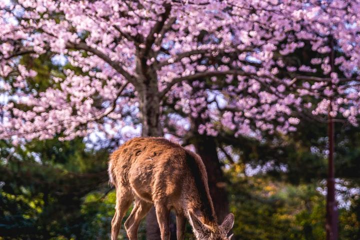 AGP, AGP Favorite, Alex G Perez, Asia, Cherry Blossoms, Deer, Japan, Nara, Nara Park, Sakura, Spring, Travel, www.AGPfoto.com
