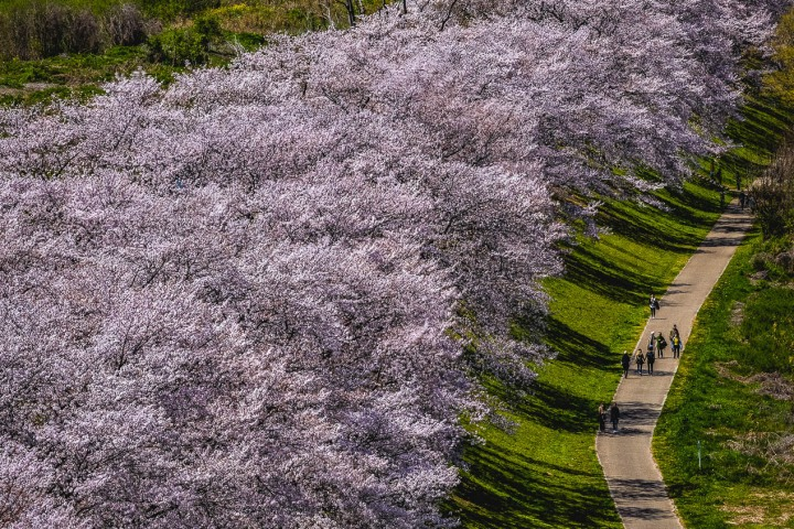 AGP, AGP Favorite, Alex G Perez, Asia, Cherry Blossoms, Japan, Kyoto, Landscape Photography, Sakura, Sewaritei, Spring, Travel, www.AGPfoto.com